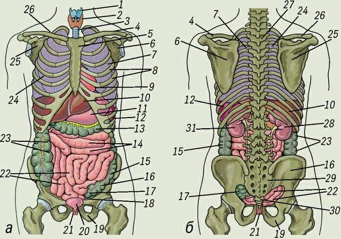 Схема расположение органов человека в