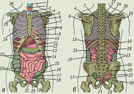 Взаиморасположение внутренних органов и скелета человека