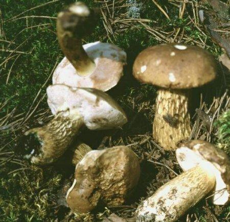 Грибы. Желчный гриб