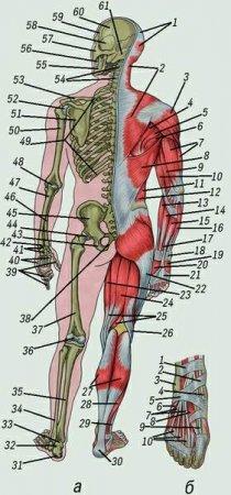 Кости скелета и скелетные мышцы