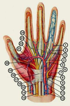Глубокие артерии и нервы левой кисти
