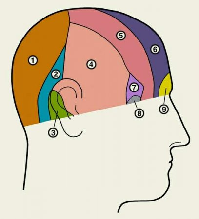 Зоны периферической чувствительной иннервации головы