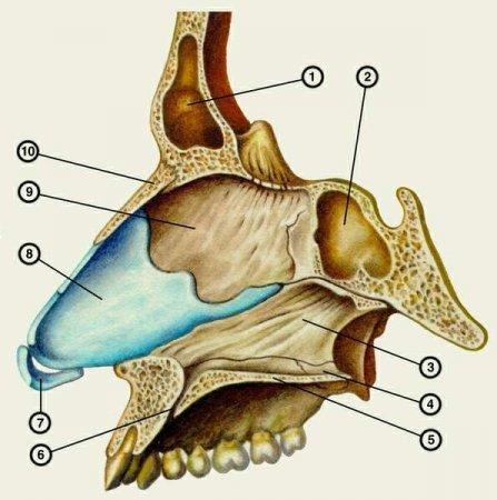 Костная и хрящевая части перегородки носа