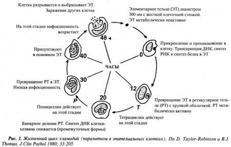 Урогенитальная хламидийная инфекция: переоценка данных и гипотезы